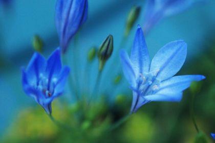 ブルーのお花